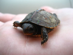 Baby Turtle on hand