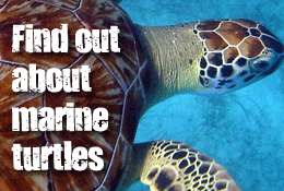 Find out about marine Turtles