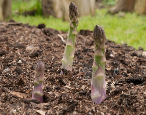 growing asparagus tips from Out of My Shed