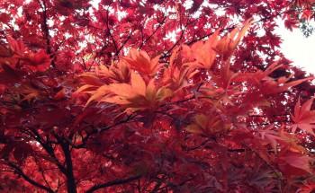 Westonbirt Autumn Colour Leaves