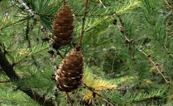 Westonbirt Arboretum Pine Cones